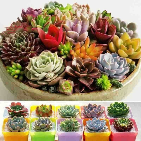 250 Sementes De Suculentas E Cactus Coloridas + Manual