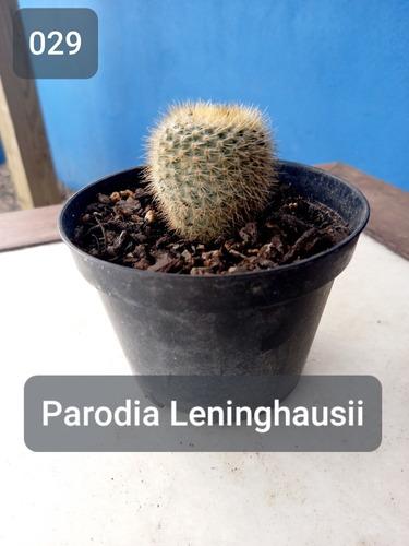 Imagem 1 de 7 de Mudas Cactos Cactus Com Vaso P.11 Parodia Leninghausii