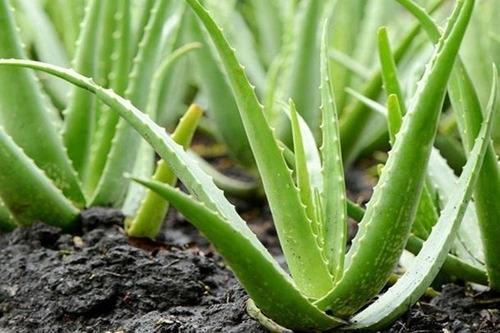 Babosa ( Aloe Vera ) - Muda | Mercado Livre