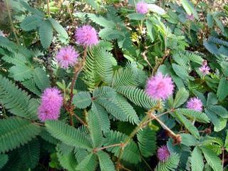 20 Semillas De Mimosa Púdica Dormilona