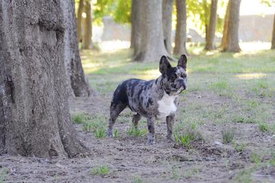 Servio De Stud Bull Dog Francés Black Merle