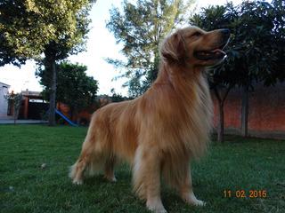 Cachorros Golden Retriever Pedigree Internacional