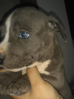 Cachorros American Pitbull Terrier Blue