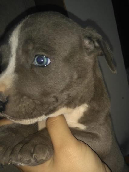 Cachorros American Pitbull Terrier Blue