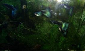 Guppys De Linhagem Moscow Green/blue Casal