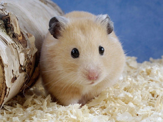 Viruta En Pack Conejo Cobayo Chinchilla Hamster- A Retirar