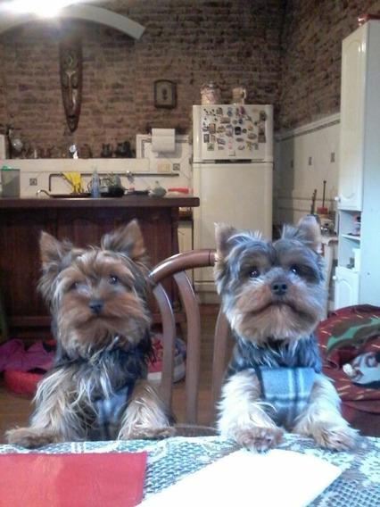 Yorkshire Terrier Minis Dia Del Niño !!!!