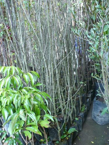 Imagen 1 de 6 de Frutales Manzanos,ciruelos,chabacanos,nectarinos,duraznos...