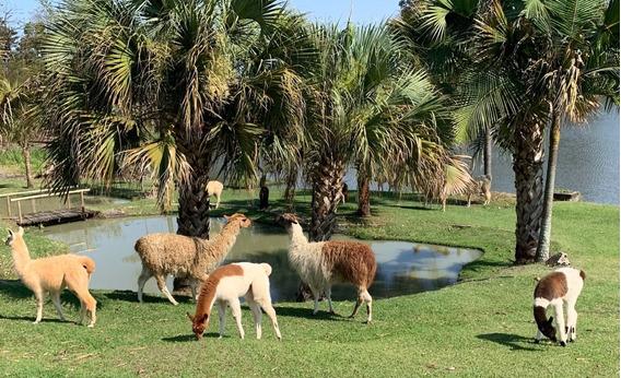 Carneiros Crioulos E Também: Lhamas, Alpacas, Mini Cabras