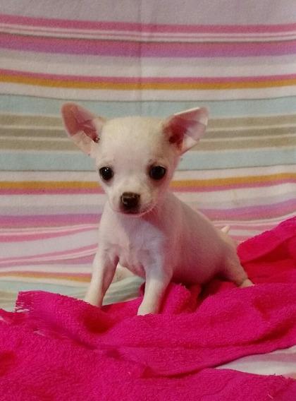Chihuahua Hembra Mini Blanca
