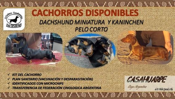 Dachshund, Salchichas, Tekel Miniatura Kaninchen Pelo Corto