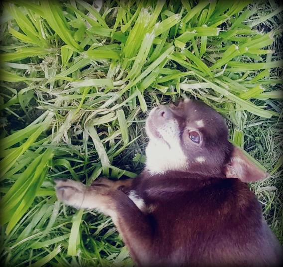 Hermosa Chihuahua Mini Pelo Corto Mascota Para Familia Chico