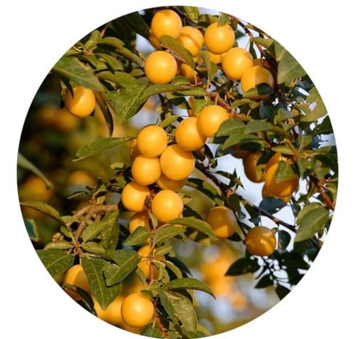 Arbol Frutal Ciruelo Ciruela Amarilla Golden Japan 1.6maprox