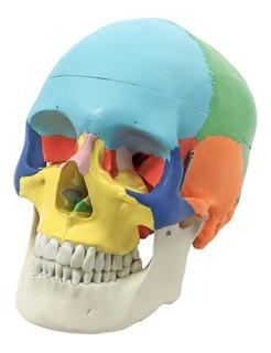 Cráneo Humano - Modelo Anatómico Color