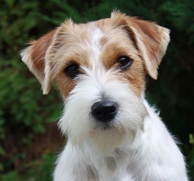 Servicio De Jack Rusell Terrier Pelo Duro Pedigree Completo
