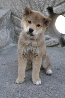 Encantadores Cachorros Akita Inu Disponibles Para Casas Enca