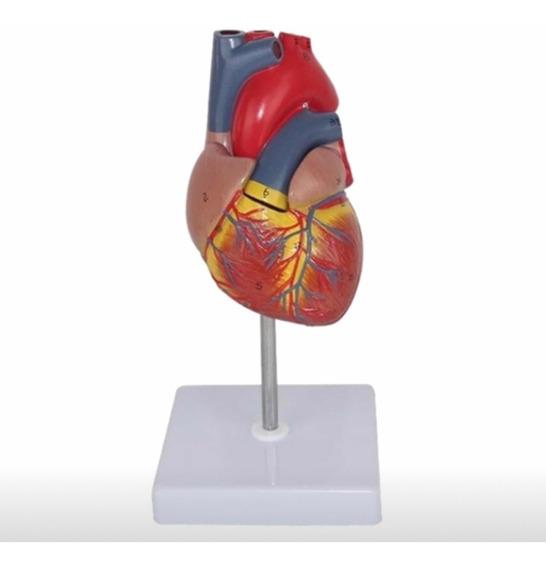 Modelo Anatómico Corazón Humano