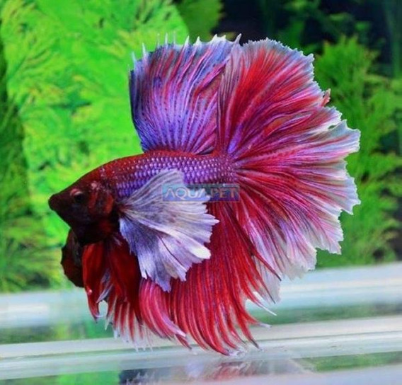 Peixe Betta Dumbo (betta Splendens)