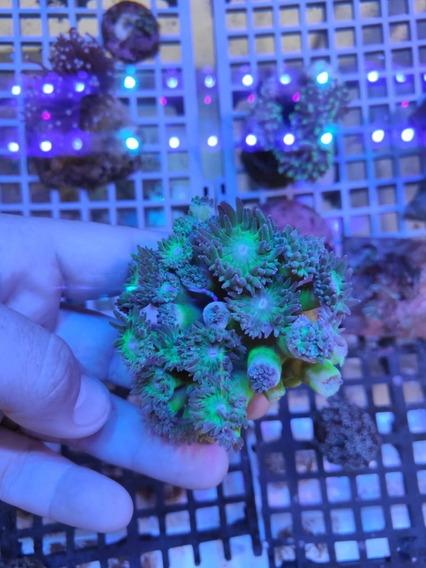 Coral Duncan - Colônia + 10 Bocas