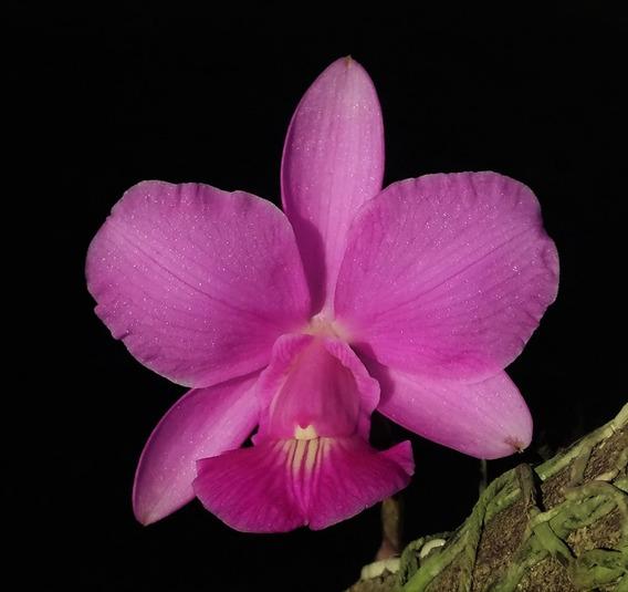 Cattleya Walkeriana Surpresa - Plantada No Toquinho