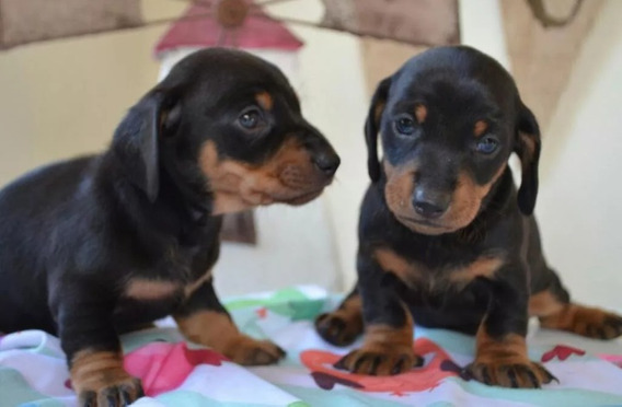 Cachorros Salchichas Dachshund Los Mas Hermosos !!