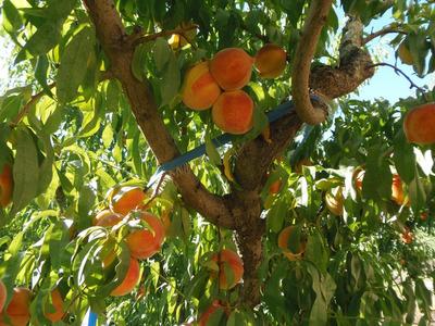 San Rafael-chacra:9ha Con Frutales,tela Antigranizo U$165mil