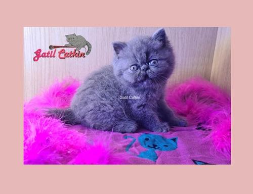 Filhote Exotic Shorthair Fêmea Pelagem Blue
