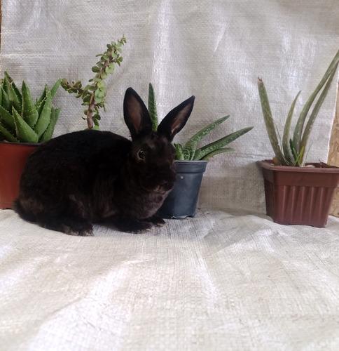 Conejos Enanos Mini Rex
