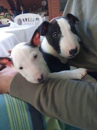 Bull Terrier Maravilhosos Filhotes Disponível
