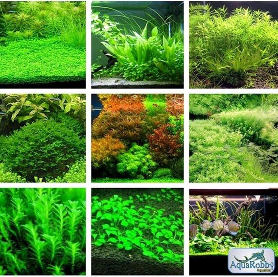 (30) Sementes Planta De Aquário, Mais Folheto Como Plantar