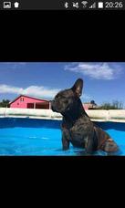Bull Dog Francés Blue En Servicio De Monta