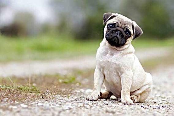 Filhote Pug Abricot Mini