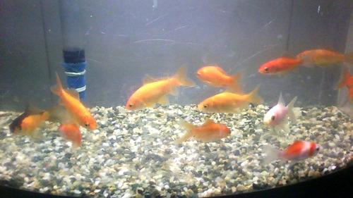 Imagen 1 de 3 de Peces Goldfish