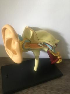 Orelha Ouvido Modelo Anatomia Medicina Fonoaudiologia Odonto