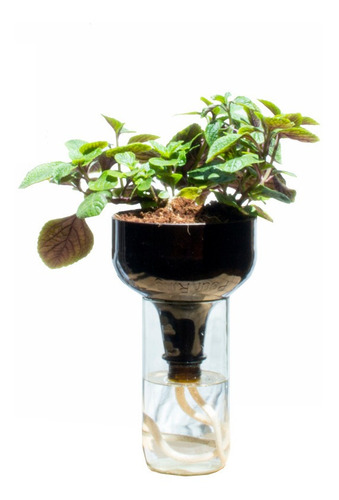 Dolar Negro Little Plant 27 Sin Soporte,  Maceta Autor Riego