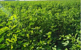 Fardos De Alfalfa 1° Calidad Peso 20 Kg Promedio