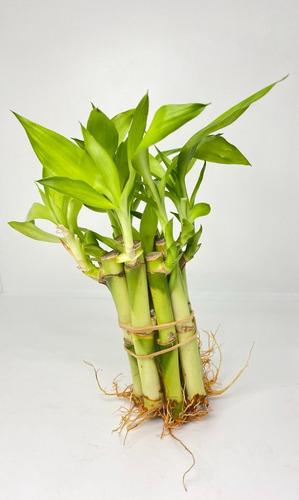 Imagen 1 de 2 de Planta Bambu De La Suerte Natural Agua Decoracion 10 Pzas