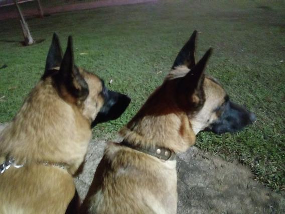 Casal De Cachorros Belga Malinois Puros