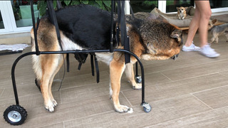 Silla De Ruedas Para Perros Gatos Displacía De Cadera Arnés