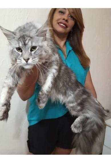 Filhote Gato Gigante Maine Coon Fêmea Black Silver