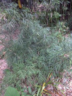 Planta De Bambu Chiquian