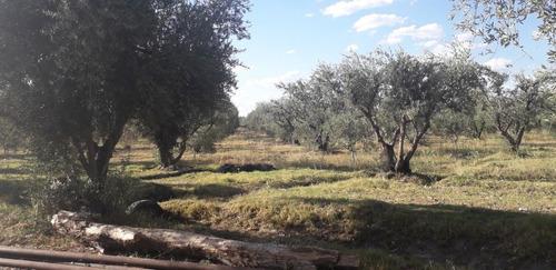 Vendo Finca De Olivos San Rafael Mendoza A Tranquera Cerrada