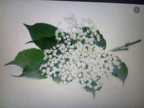 Flores De Sauco Medicinales X 6 Racimos. - g a $3