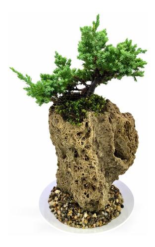 Técnica Penjing Bonsai En Piedra Fósil Pino Nana 4 Años Edad