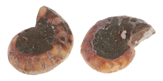 Magideal Natural Pedra Amonite Fósseis Concha Caracol Colet
