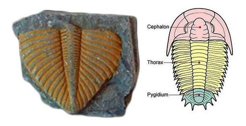 Imagen 1 de 9 de Cola Trilobites Matriz Fósil Era Dinosaurio Megalodon Cuarzo