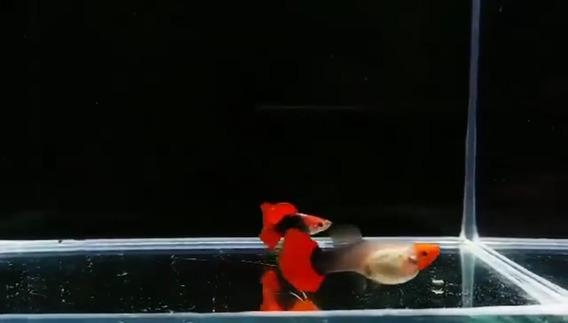Guppy Tuxedo Red Koi 180.00 Trio