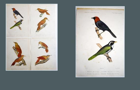 4 Litografías Pajaros America Del Sud Castelnau Ornitologia