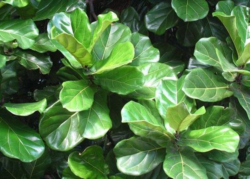 Imagen 1 de 4 de Ficus Pandurata 30 Cm  Ficus Lyra O Lyrata  ( Planta)/
