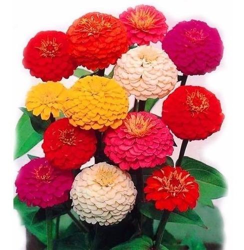 Semente De Zinnia Dobrada Califórnia Sortida Flor